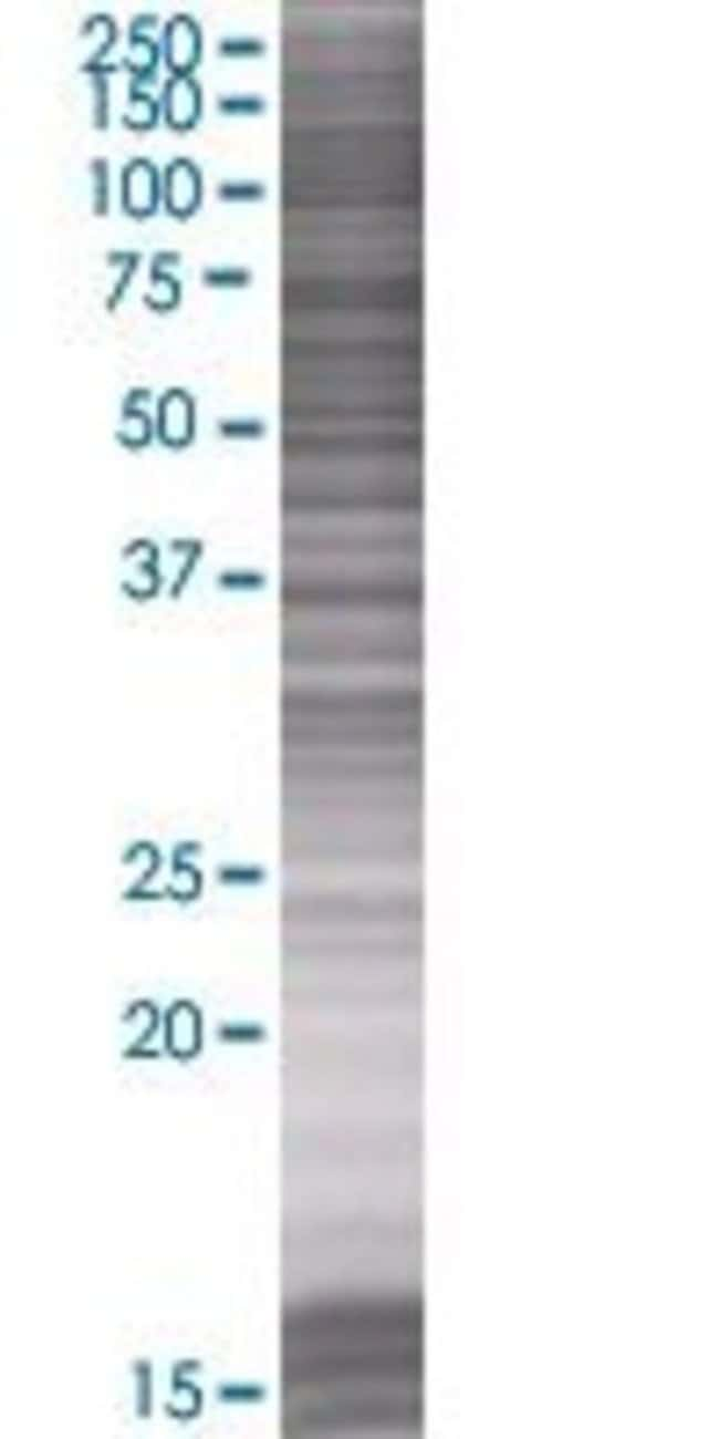 AbnovaAPOL2 293T Cell Transient Overexpression Lysate (Denatured) (T01)