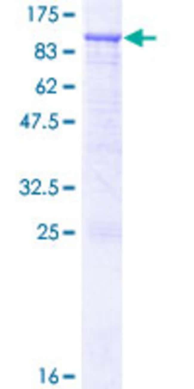 AbnovaHuman RASGRP3 Full-length ORF (NP_733772.1, 1 a.a. - 690 a.a.) Recombinant