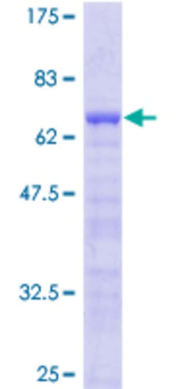 Abnova Human LMOD1 Full-length ORF (AAH01755, 1 a.a. - 269 a.a.) Recombinant