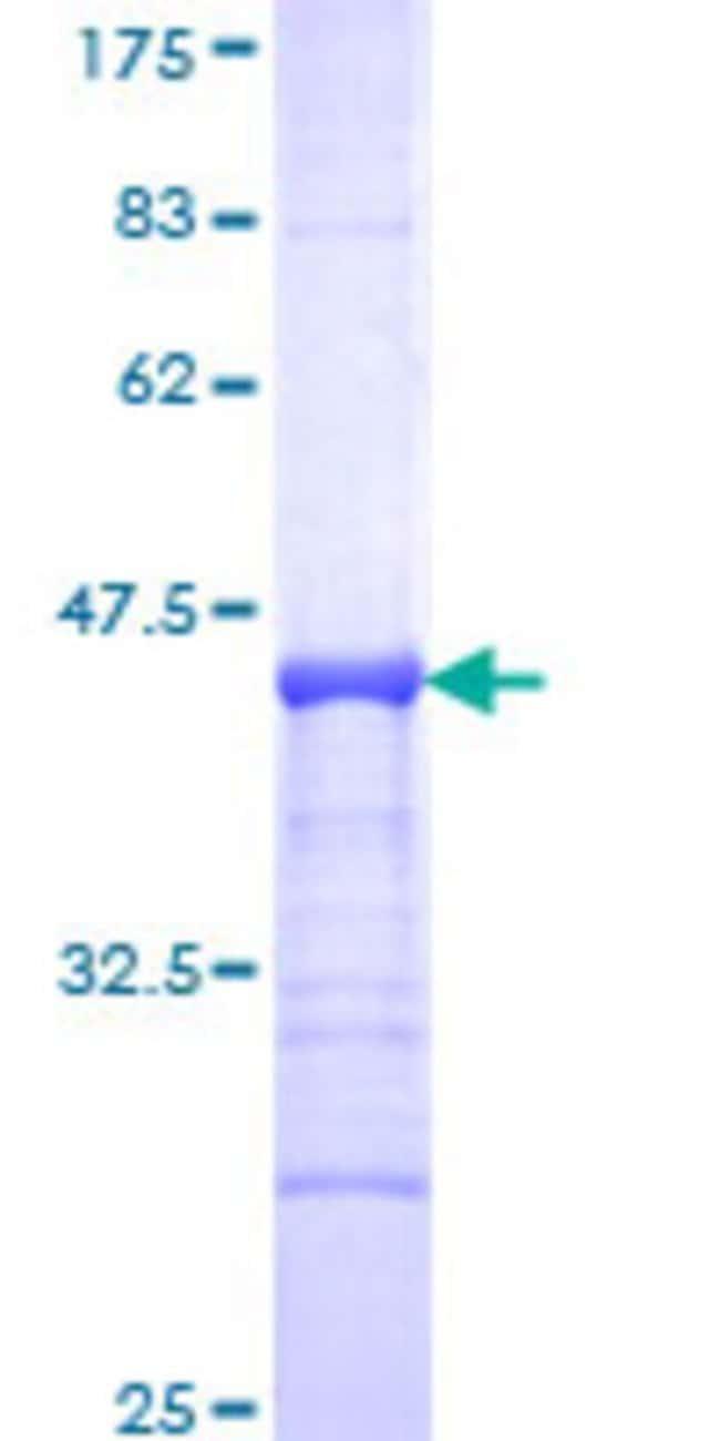 Abnova™Human POU2F3 Partial ORF (NP_055167, 1 a.a. - 109 a.a.) Recombinant Protein with GST-tag at N-terminal 10μg Abnova™Human POU2F3 Partial ORF (NP_055167, 1 a.a. - 109 a.a.) Recombinant Protein with GST-tag at N-terminal