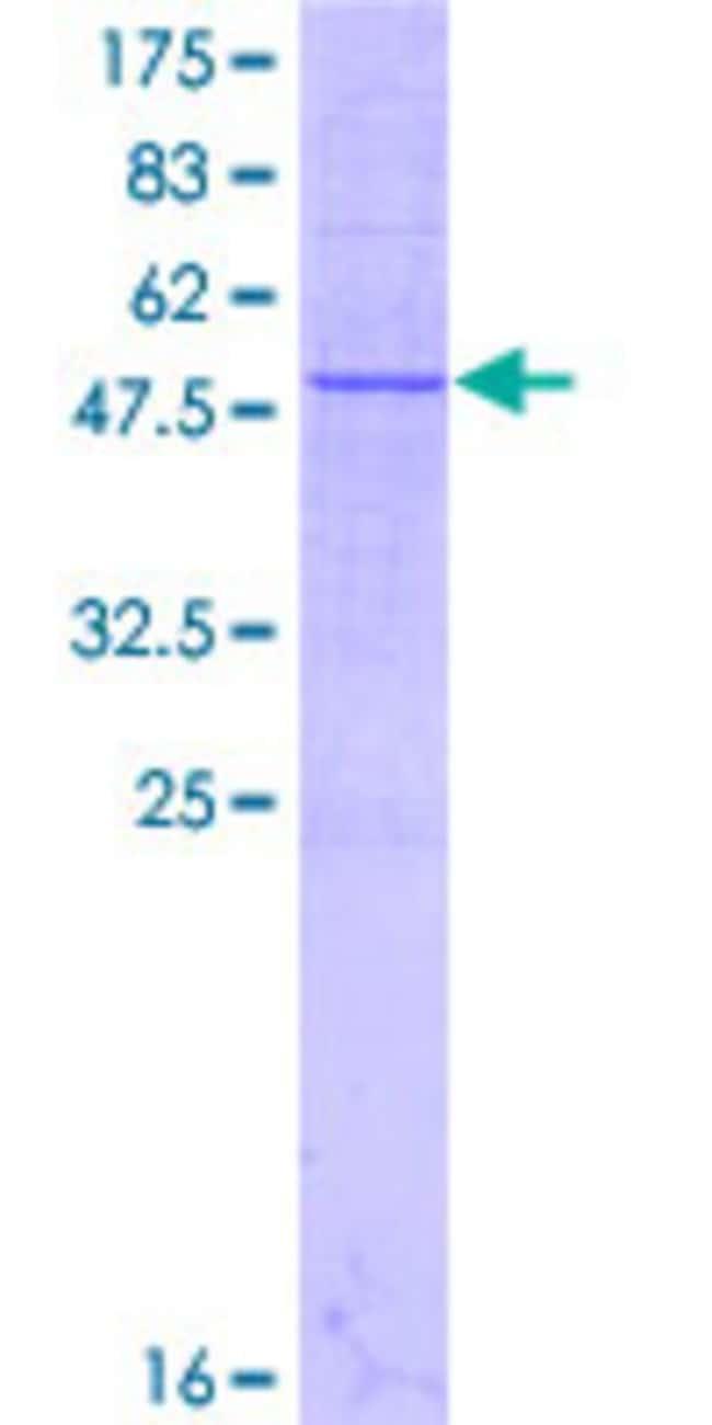 AbnovaHuman METTL7A Full-length ORF (NP_054752.3, 1 a.a. - 244 a.a.) Recombinant