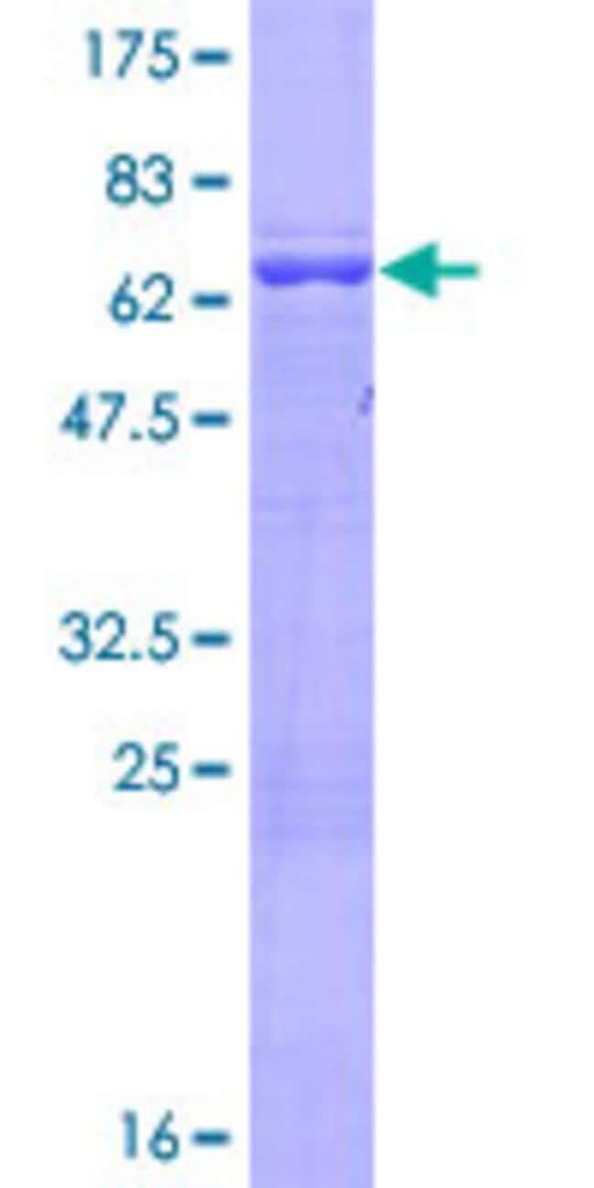 AbnovaHuman ARMC8 Full-length ORF (NP_054873.2, 1 a.a. - 385 a.a.) Recombinant