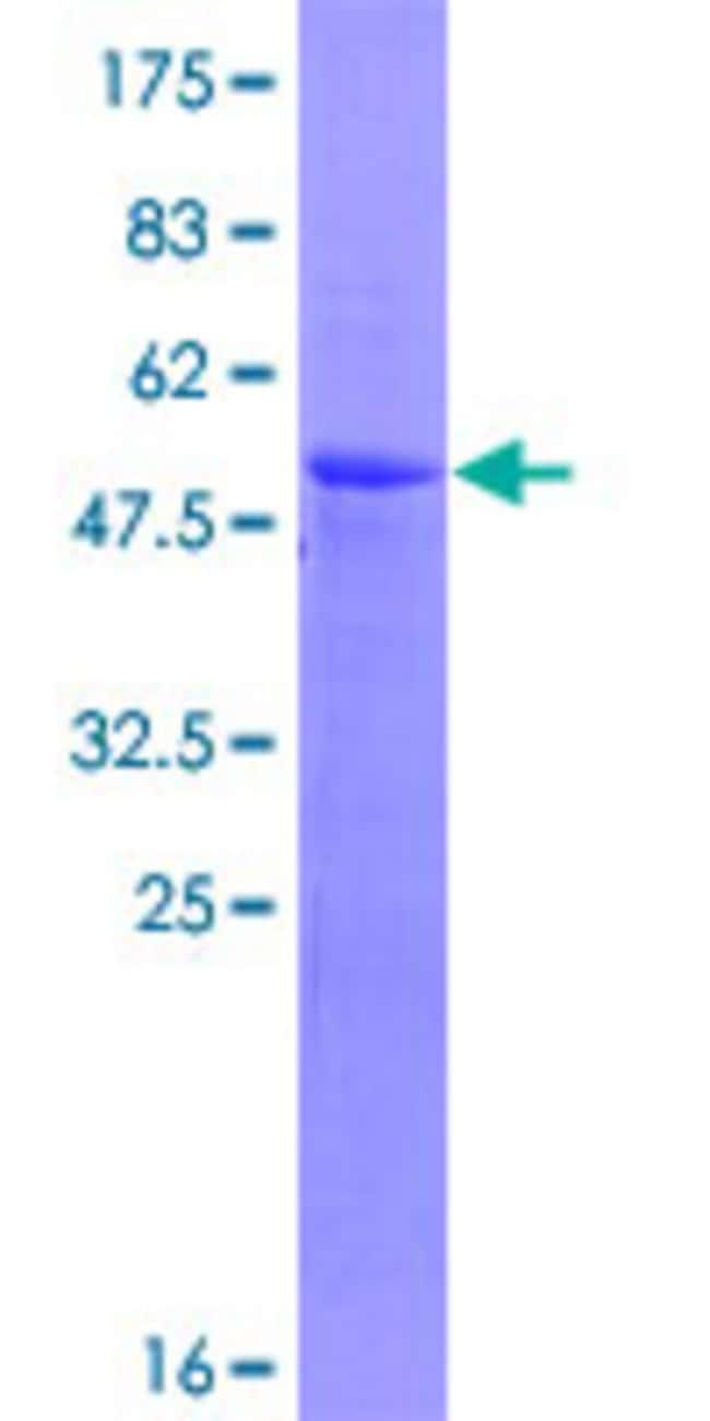 AbnovaHuman RCHY1 Full-length ORF (NP_001009922.1, 1 a.a. - 252 a.a.) Recombinant
