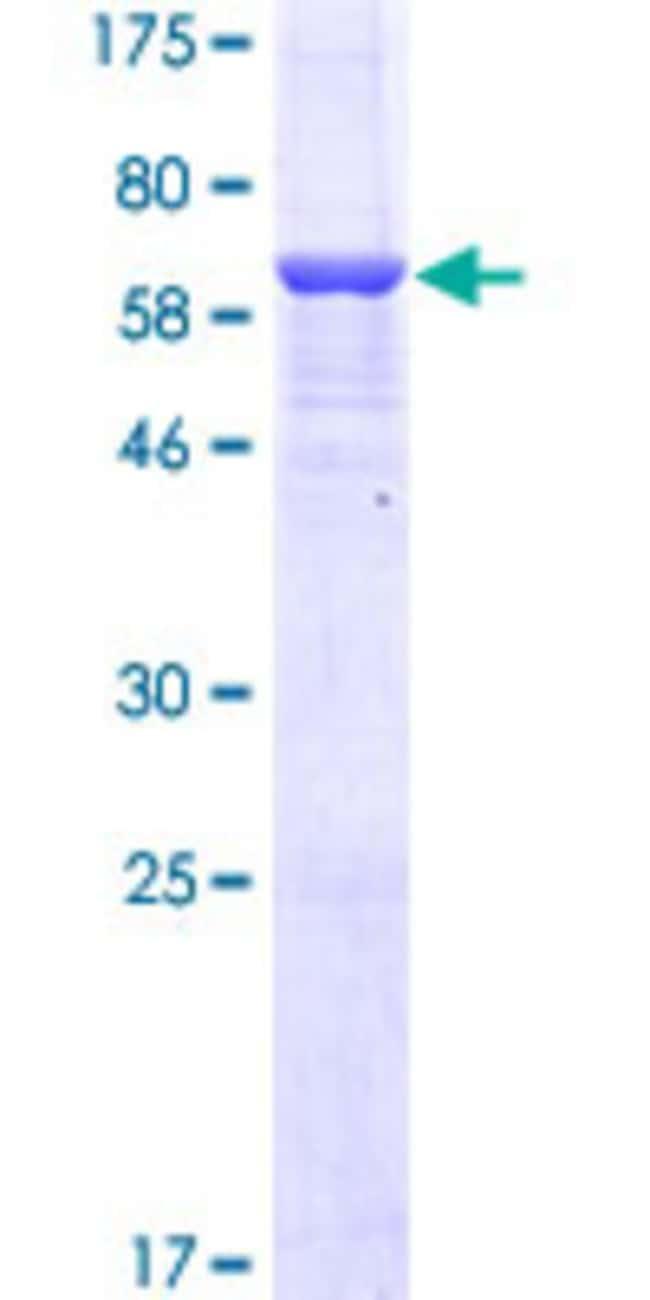 AbnovaHuman MTHFD1L Full-length ORF (AAH08629.1, 1 a.a. - 366 a.a.) Recombinant