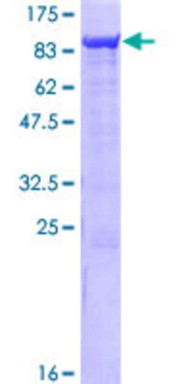 AbnovaHuman SAMHD1 Full-length ORF (NP_056289.2, 1 a.a. - 626 a.a.) Recombinant