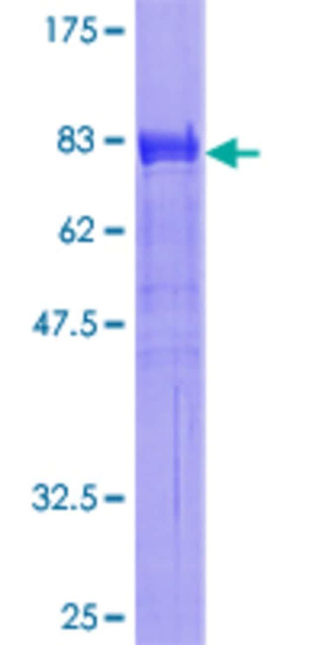 AbnovaHuman SH2B Full-length ORF (AAH10704.1, 1 a.a. - 426 a.a.) Recombinant
