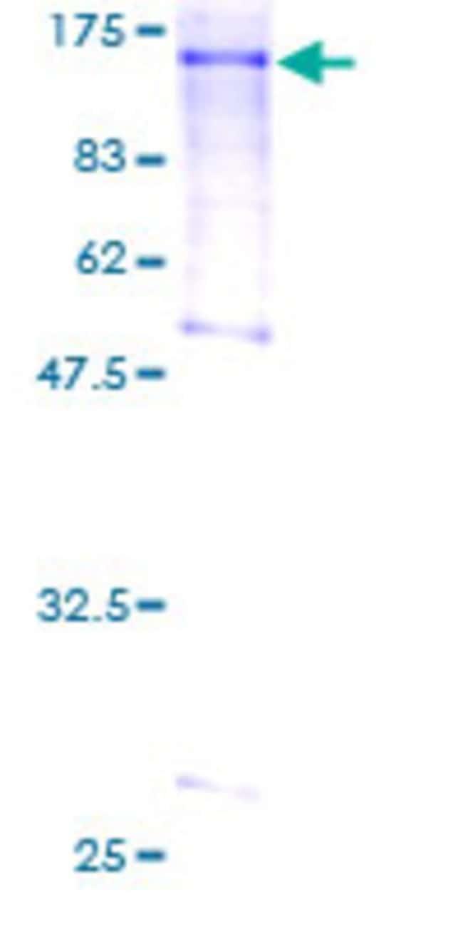Abnova Human L3MBTL Full-length ORF (AAH39820, 1 a.a. - 772 a.a.) Recombinant
