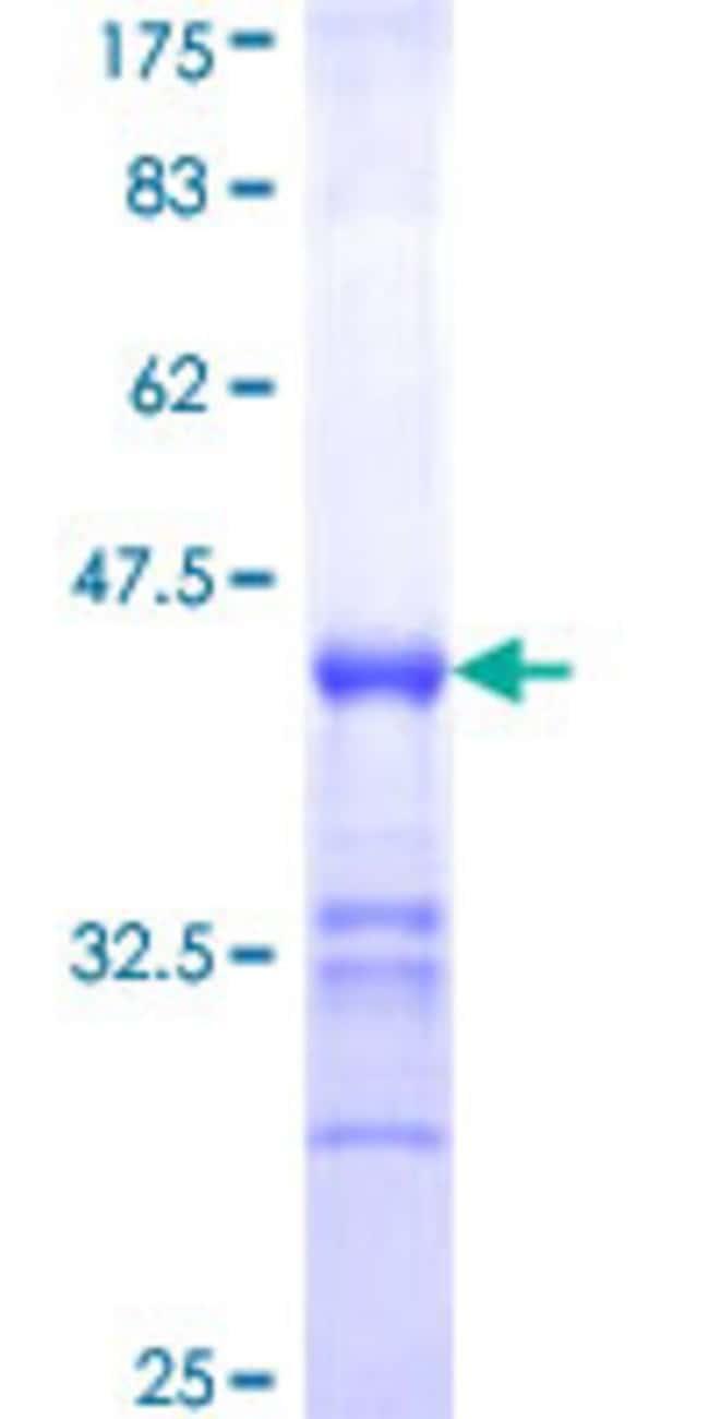 AbnovaHuman PCDHGA12 Partial ORF (NP_003726, 98 a.a. - 189 a.a.) Recombinant