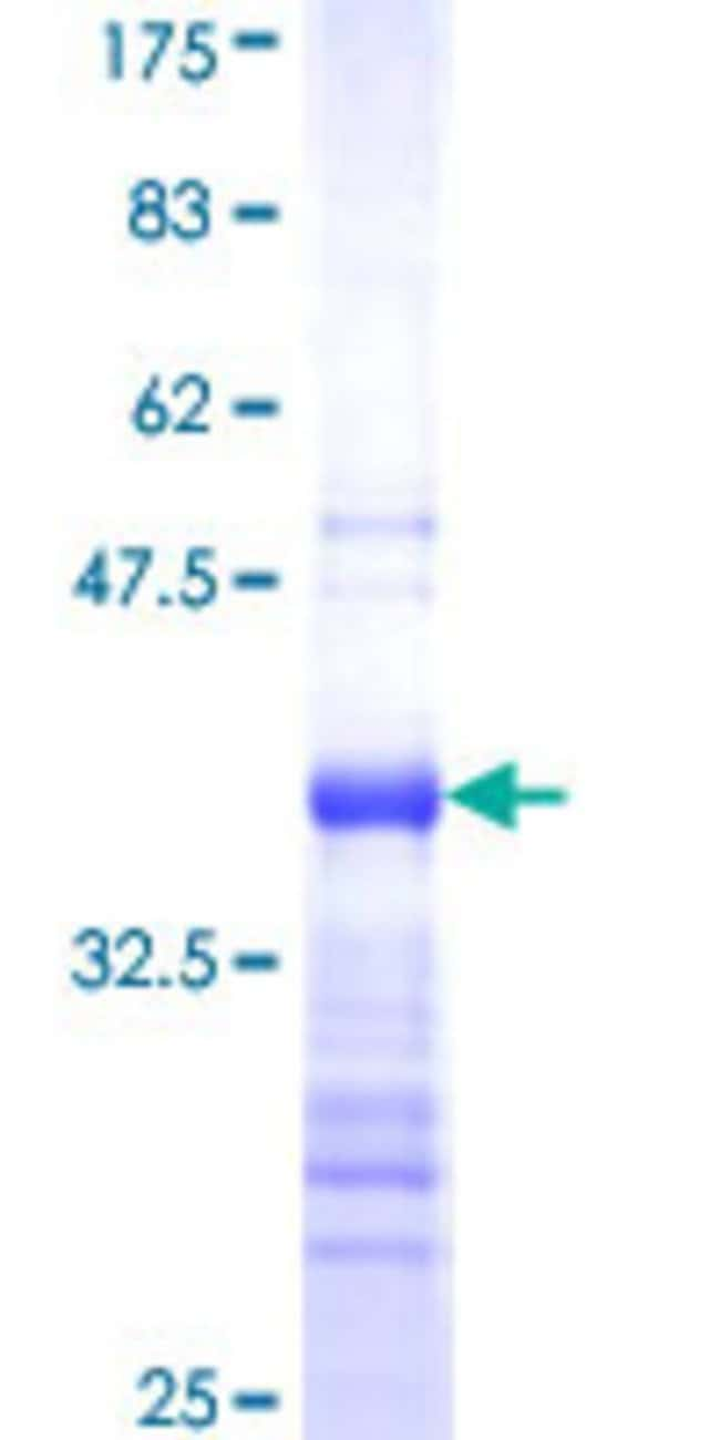AbnovaHuman ZNF500 Partial ORF (NP_067678, 372 a.a. - 480 a.a.) Recombinant