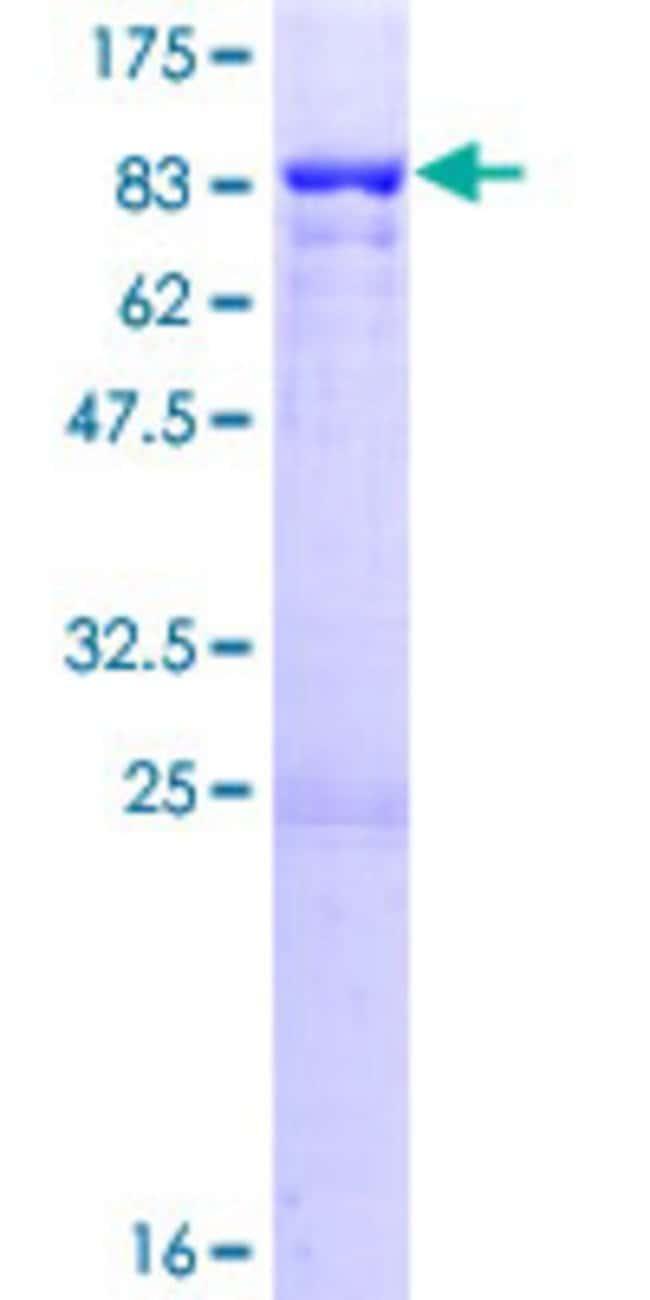 AbnovaHuman PPP1R16B Full-length ORF (NP_056383.1, 1 a.a. - 567 a.a.) Recombinant