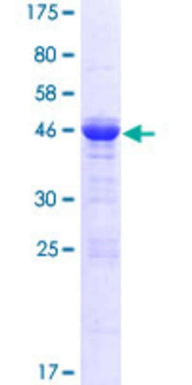 AbnovaHuman GPSM1 Full-length ORF (AAH48343.1, 1 a.a. - 166 a.a.) Recombinant