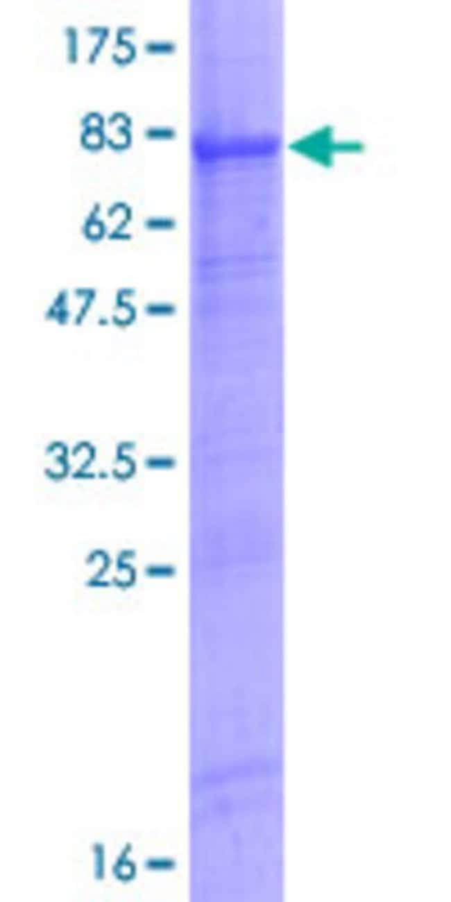 AbnovaHuman WIPI2 Full-length ORF (NP_056425.1, 1 a.a. - 454 a.a.) Recombinant