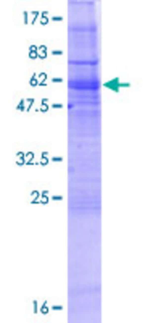 AbnovaHuman GIMAP2 Full-length ORF (NP_056475.1, 1 a.a. - 337 a.a.) Recombinant