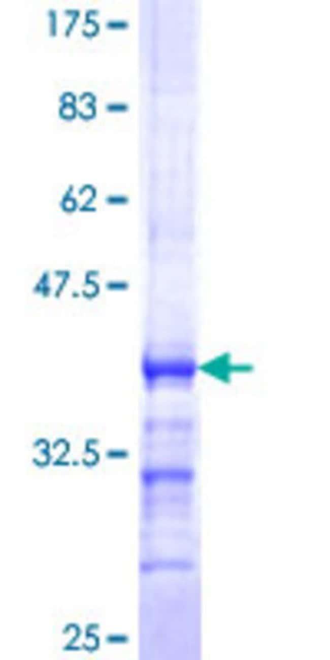 AbnovaHuman PCDHB5 Partial ORF (NP_056484, 261 a.a. - 357 a.a.) Recombinant