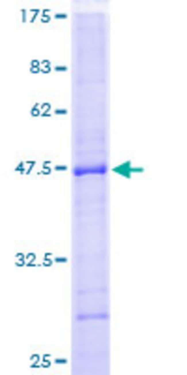 AbnovaHuman PTPN22 Full-length ORF (AAH17785, 1 a.a. - 179 a.a.) Recombinant