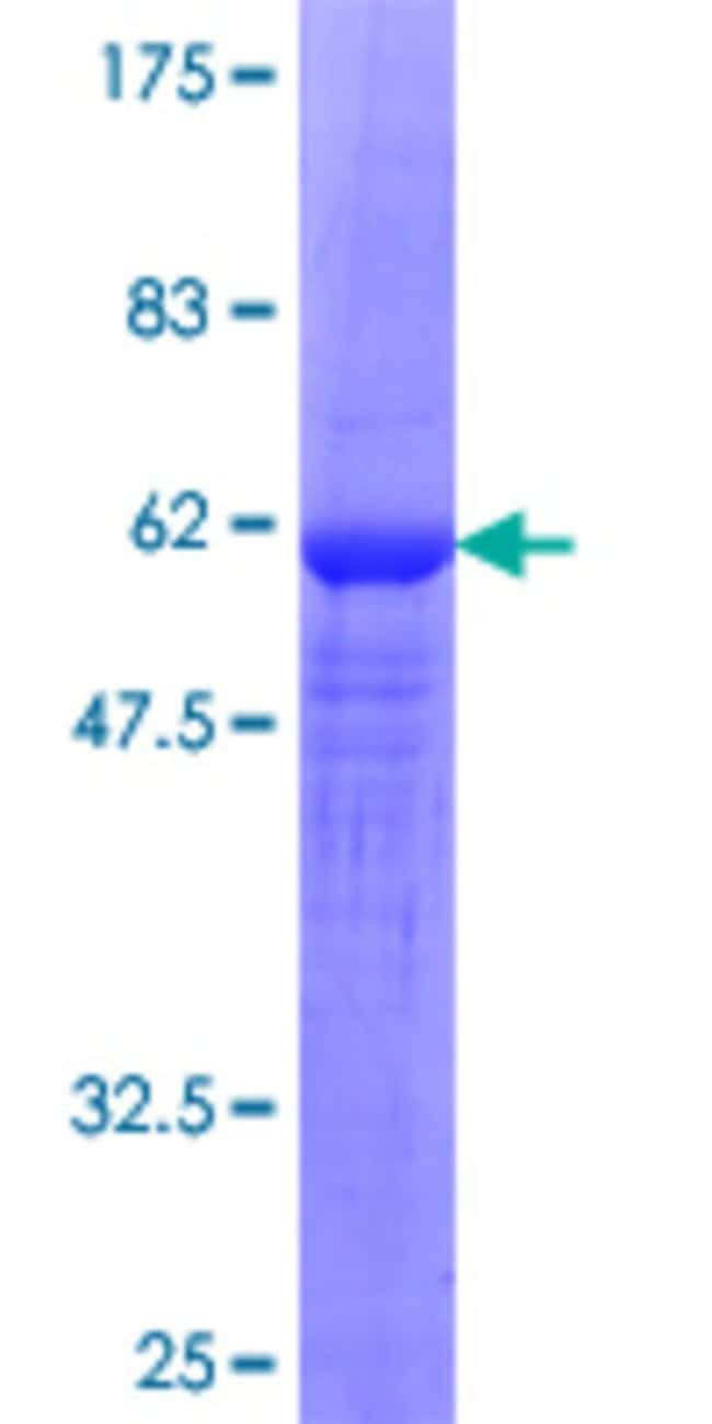 AbnovaHuman BRDG1 Full-length ORF (NP_036240.1, 1 a.a. - 295 a.a.) Recombinant