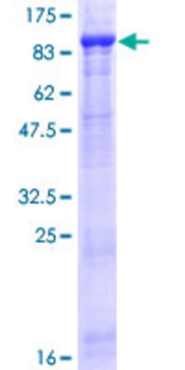 AbnovaHuman FBXL5 Full-length ORF (AAH30656.1, 1 a.a. - 691 a.a.) Recombinant