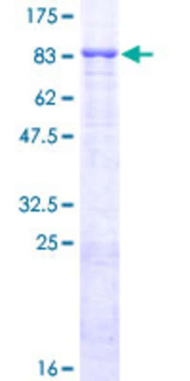 Abnova™ Human FBXL4 Full-length ORF (NP_036292.2, 1 a.a. - 621 a.a.) Recombinant Protein with GST-tag at N-terminal 10μg Abnova™ Human FBXL4 Full-length ORF (NP_036292.2, 1 a.a. - 621 a.a.) Recombinant Protein with GST-tag at N-terminal