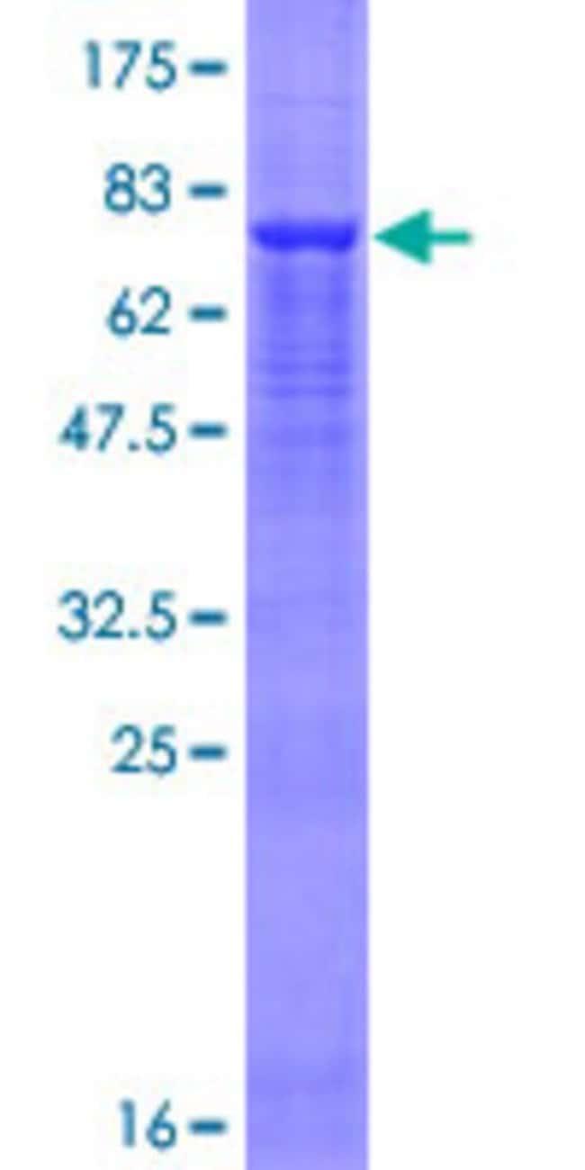 AbnovaHuman FBXO9 Full-length ORF (NP_258441.1, 1 a.a. - 437 a.a.) Recombinant
