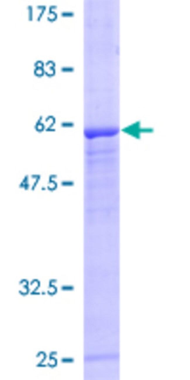 AbnovaHuman FBXO8 Full-length ORF (AAH14679, 1 a.a. - 319 a.a.) Recombinant