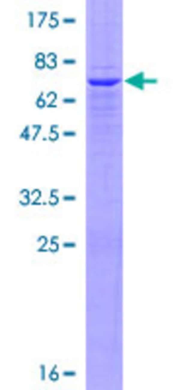 AbnovaHuman GBGT1 Full-length ORF (AAH32499.1, 1 a.a. - 347 a.a.) Recombinant