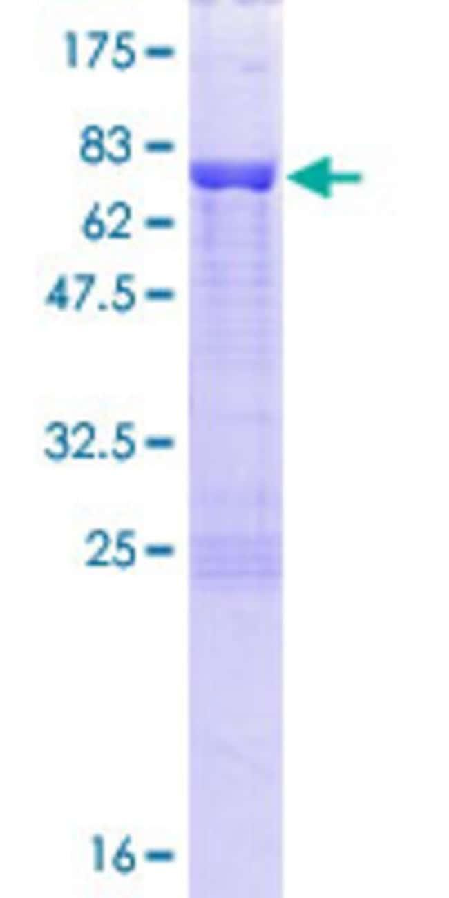 AbnovaHuman DAZAP1 Full-length ORF (NP_061832.2, 1 a.a. - 407 a.a.) Recombinant