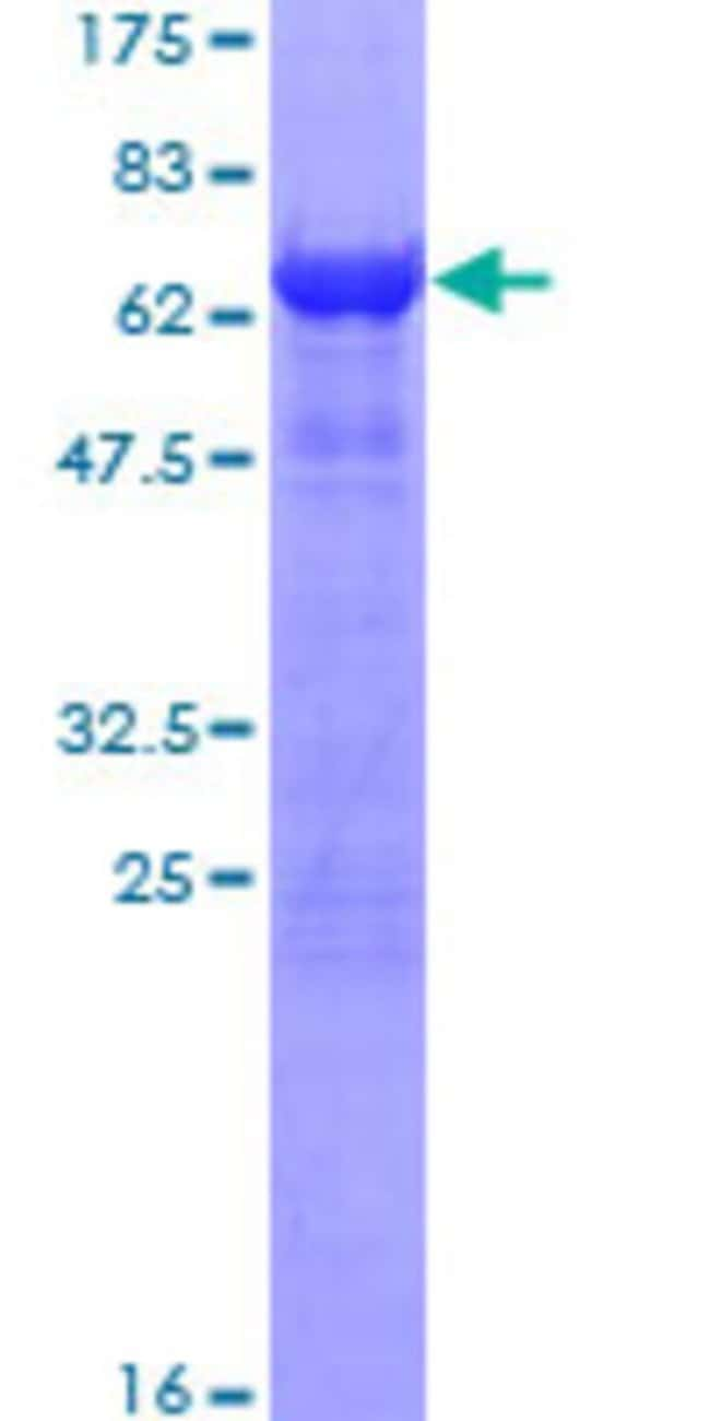 AbnovaHuman ITGB1BP2 Full-length ORF (NP_036410.1, 1 a.a. - 347 a.a.) Recombinant