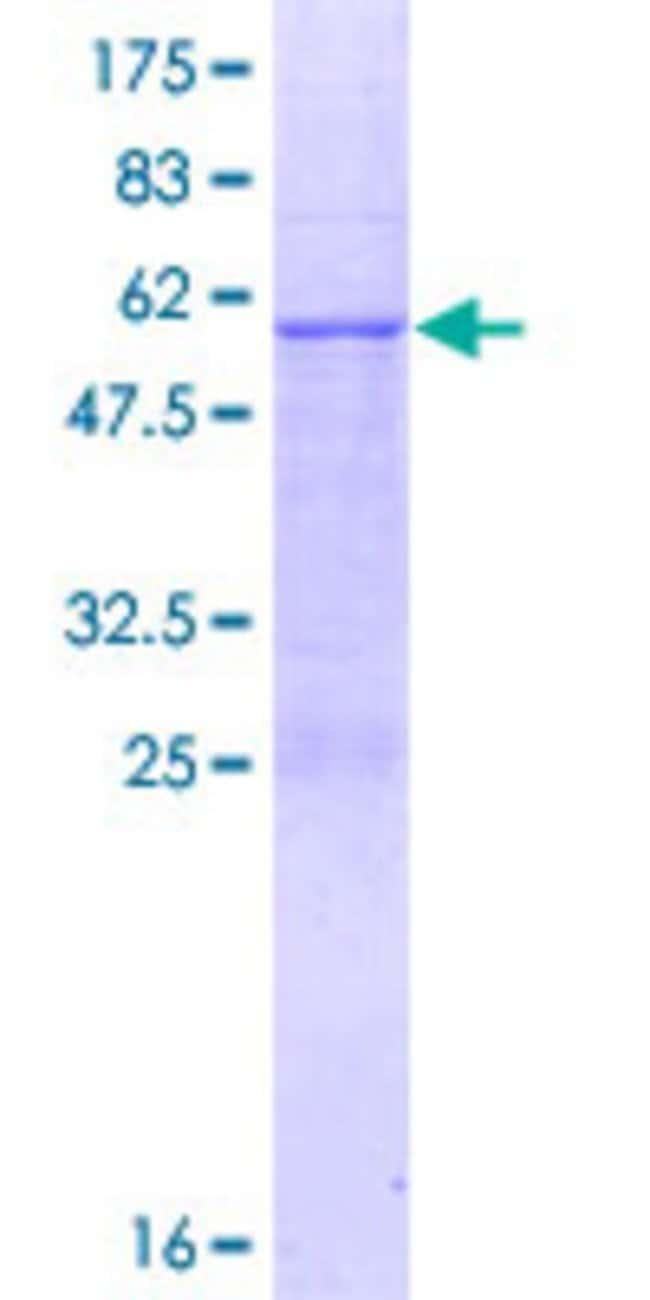 AbnovaHuman MRPL46 Full-length ORF (NP_071446.2, 1 a.a. - 279 a.a.) Recombinant