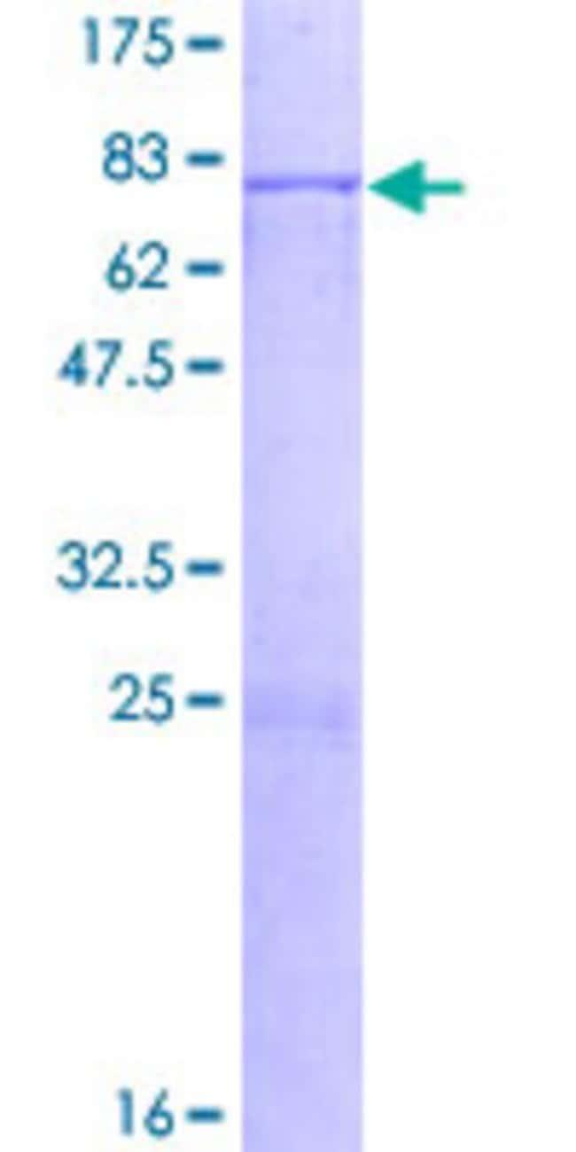 AbnovaHuman TBL2 Full-length ORF (NP_036585.1, 1 a.a. - 447 a.a.) Recombinant