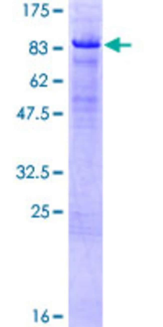 AbnovaHuman HBP1 Full-length ORF (AAH22329.1, 1 a.a. - 514 a.a.) Recombinant