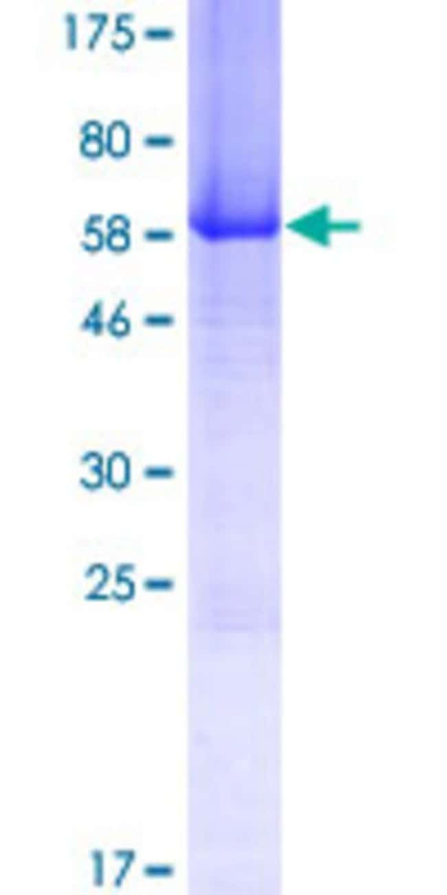 AbnovaHuman CHORDC1 Full-length ORF (AAH72461.1, 1 a.a. - 332 a.a.) Recombinant