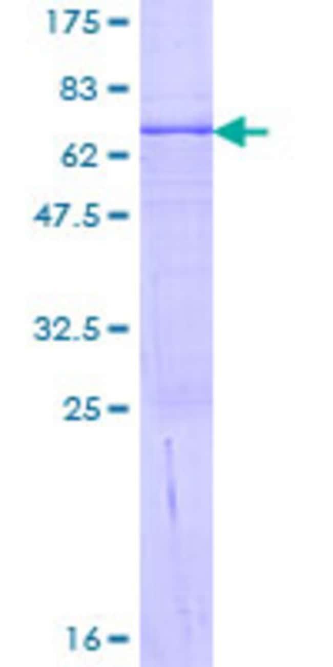 AbnovaHuman PPA2 Full-length ORF (NP_789845.1, 1 a.a. - 334 a.a.) Recombinant