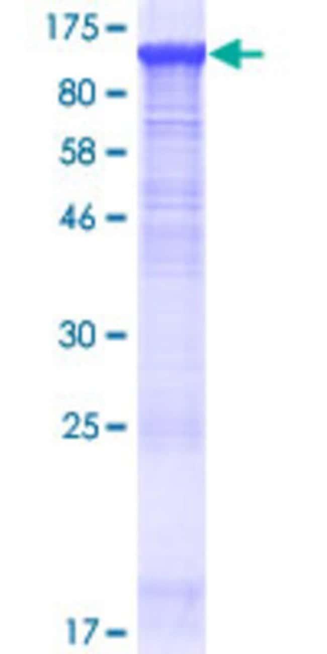 Abnova Human KIAA1274 Full-length ORF (NP_055246.1, 1 a.a. - 856 a.a.)