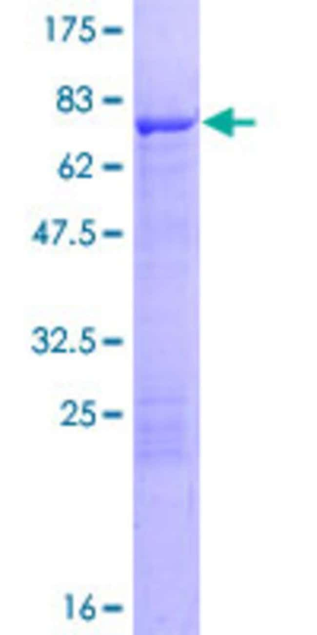Abnova™Human TEKT2 Full-length ORF (NP_055281.2, 1 a.a. - 430 a.a.) Recombinant Protein with GST-tag at N-terminal 10μg Abnova™Human TEKT2 Full-length ORF (NP_055281.2, 1 a.a. - 430 a.a.) Recombinant Protein with GST-tag at N-terminal