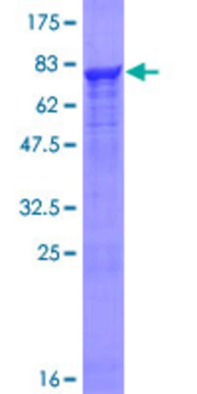 AbnovaHuman PRPF19 Full-length ORF (NP_055317.1, 1 a.a. - 504 a.a.) Recombinant