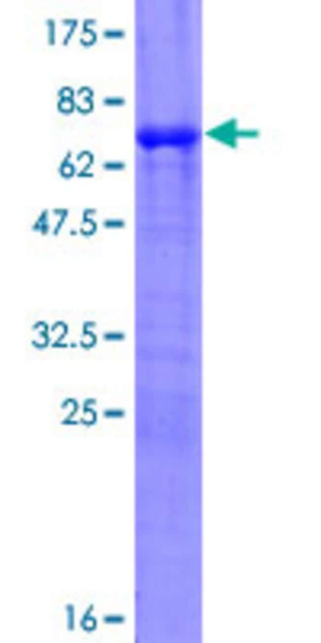 AbnovaHuman PCLO Full-length ORF (AAH01304.2, 1 a.a. - 356 a.a.) Recombinant