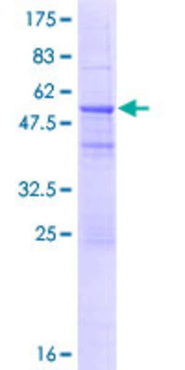 Abnova Human IGKV1-5 Full-length ORF (AAH73792.1, 1 a.a. - 235 a.a.) Recombinant