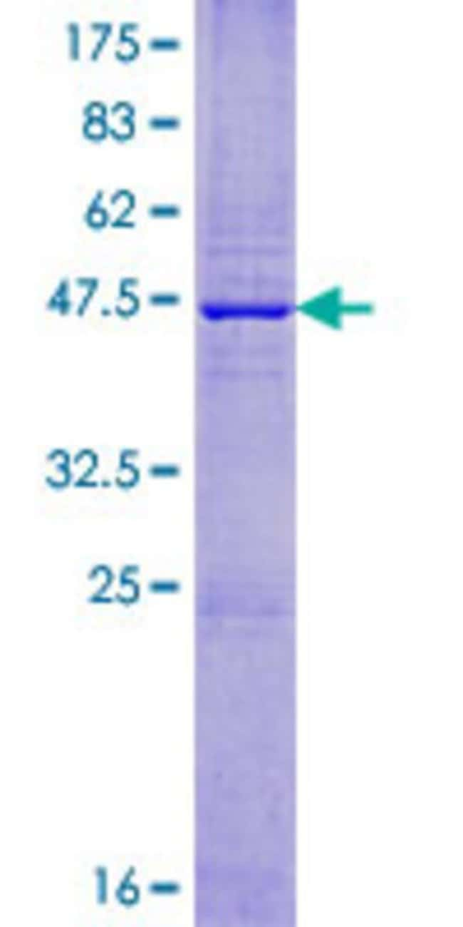 Abnova Human IGLV6-57 Full-length ORF (AAH23973.1, 1 a.a. - 148 a.a.) Recombinant