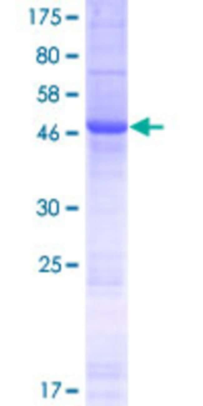 Abnova™Human IGLV2-14 Full-length ORF (AAH54893.1, 1 a.a. - 230 a.a.) Recombinant Protein with GST-tag at N-terminal 10μg Abnova™Human IGLV2-14 Full-length ORF (AAH54893.1, 1 a.a. - 230 a.a.) Recombinant Protein with GST-tag at N-terminal