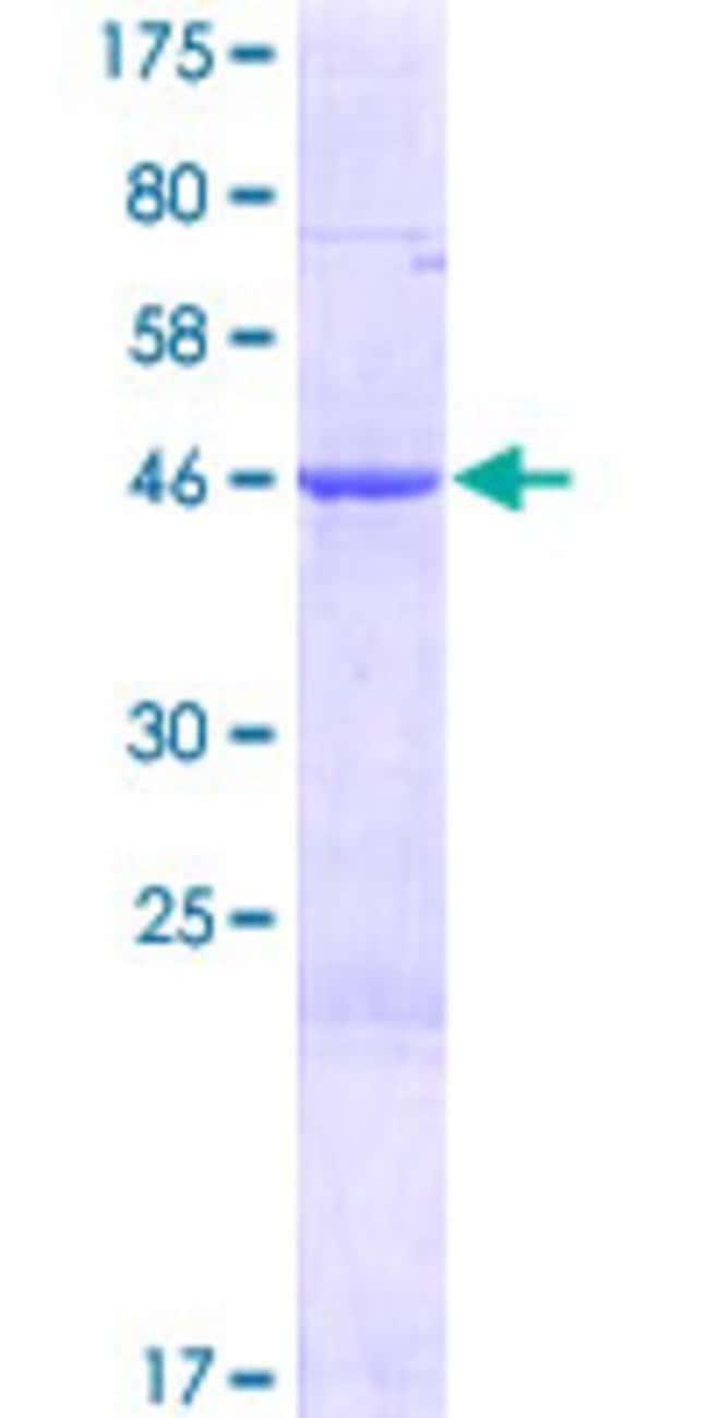AbnovaHuman MRPS28 Full-length ORF (NP_054737.1, 1 a.a. - 187 a.a.) Recombinant