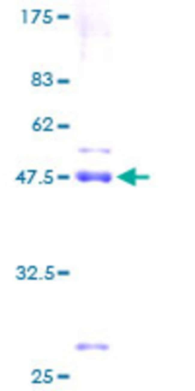 AbnovaHuman SNX24 Full-length ORF (AAH10886, 1 a.a. - 169 a.a.) Recombinant