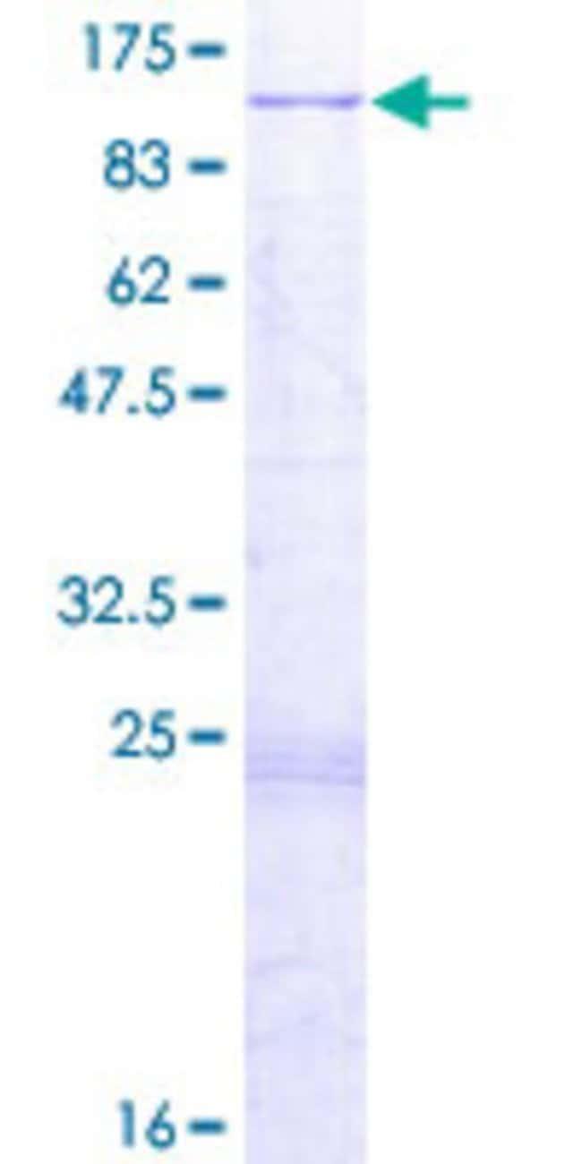 Abnova Human IFT81 Full-length ORF (NP_054774.2, 1 a.a. - 676 a.a.) Recombinant