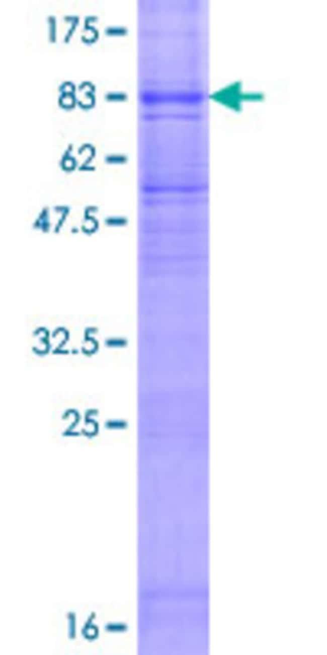AbnovaHuman FLVCR Full-length ORF (AAH48312.1, 1 a.a. - 555 a.a.) Recombinant