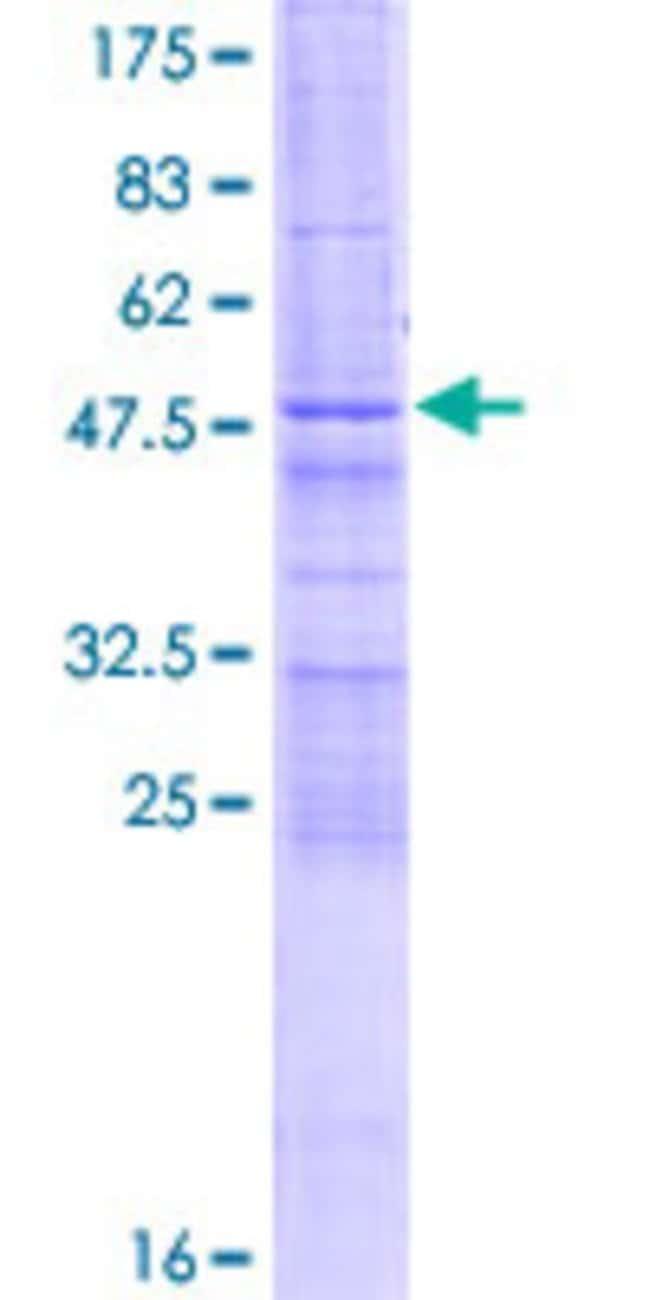 AbnovaHuman ZCCHC4 Full-length ORF (AAH16914.1, 1 a.a. - 205 a.a.) Recombinant