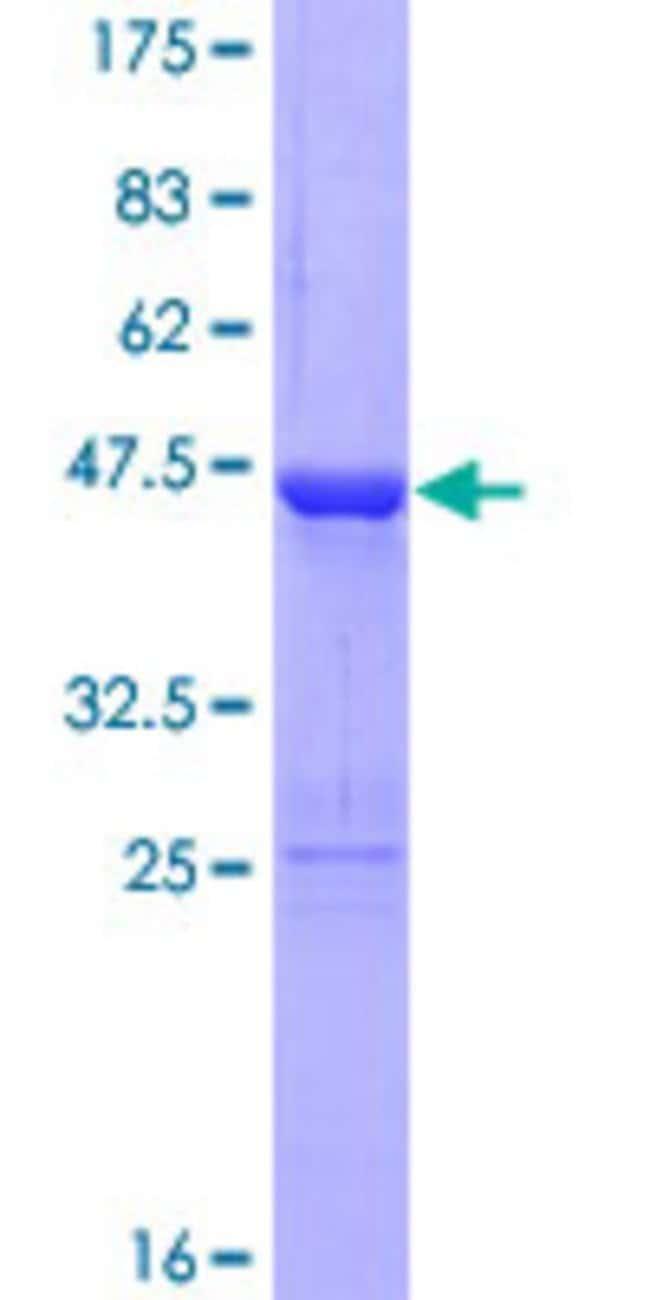 AbnovaHuman ZC3H7A Full-length ORF (AAH12575.1, 1 a.a. - 167 a.a.) Recombinant