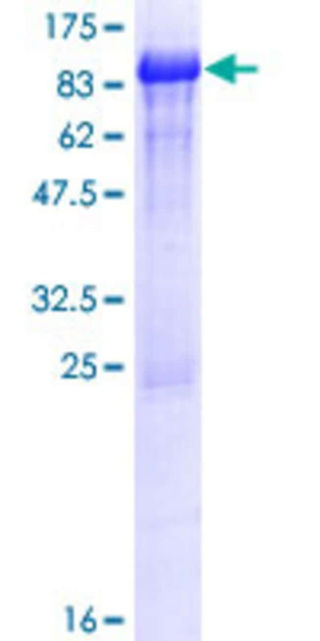 AbnovaHuman ZBTB44 Full-length ORF (NP_054874.3, 1 a.a. - 453 a.a.) Recombinant