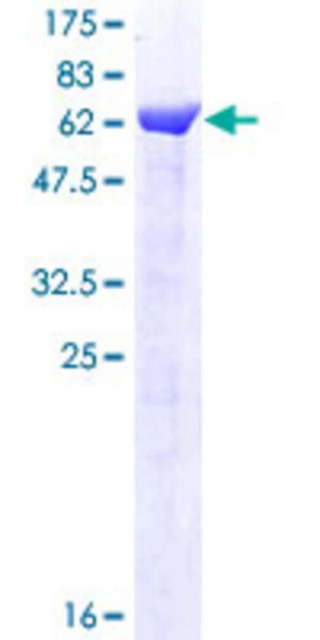 Abnova Human C19orf62 Full-length ORF (NP_001028721.1, 1 a.a. - 329 a.a.)