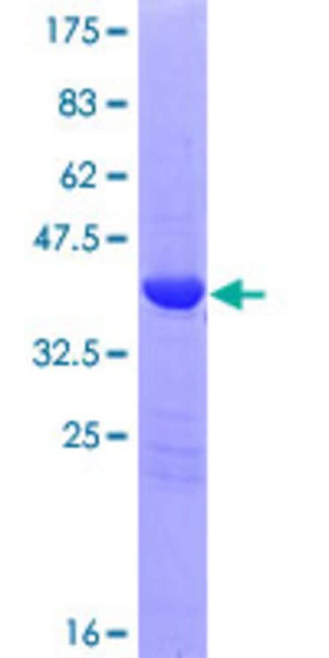 Abnova Human LGALS13 Full-length ORF (AAH66304.1, 1 a.a. - 139 a.a.) Recombinant