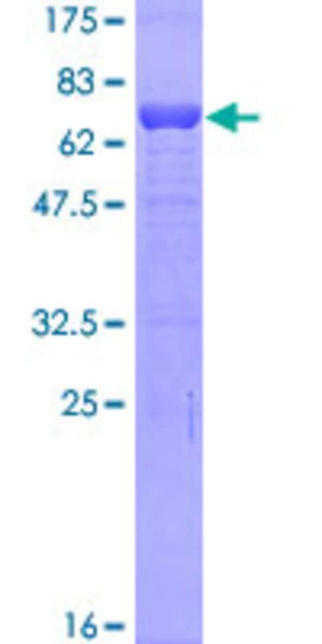 AbnovaHuman TMOD2 Full-length ORF (AAH64961.1, 1 a.a. - 351 a.a.) Recombinant