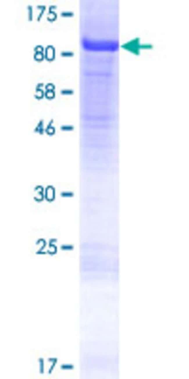 AbnovaHuman NCAPH2 Full-length ORF (NP_689512.1, 1 a.a. - 555 a.a.) Recombinant